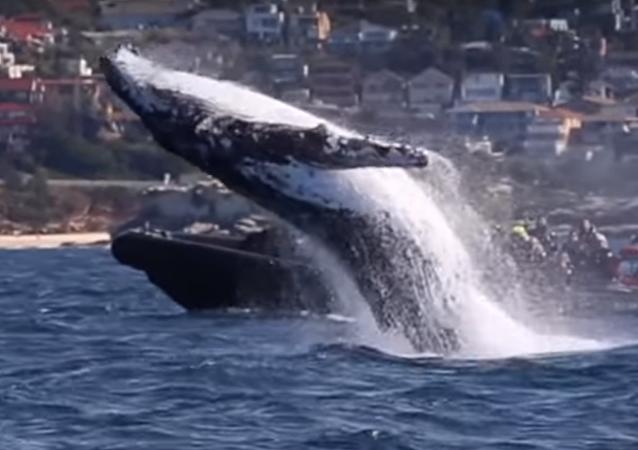 Increíble espectáculo acrobático de ballenas jorobadas