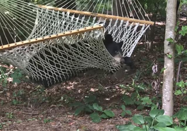 Un oso entra en una casa en EEUU para… mecerse en una hamaca