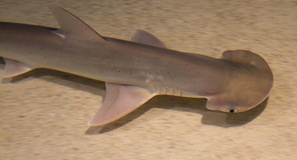 El tiburón cabeza de pala