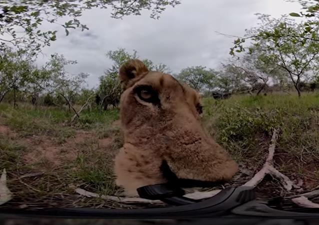 En este vídeo puedes sentir lo que significa ser comido por una leona