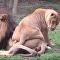 Una leona intenta 'seducir' a su pareja, y esto es lo que le pasa
