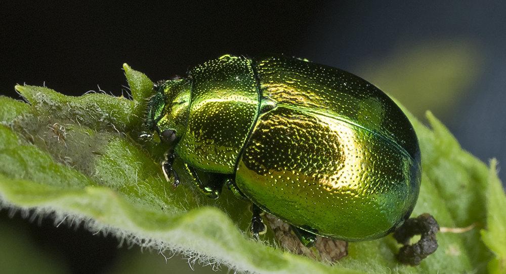Un escarabajo de la familia de los comedores de hojas