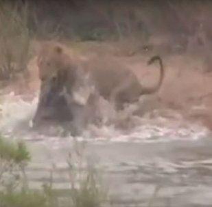 Un cocodrilo ataca a un león
