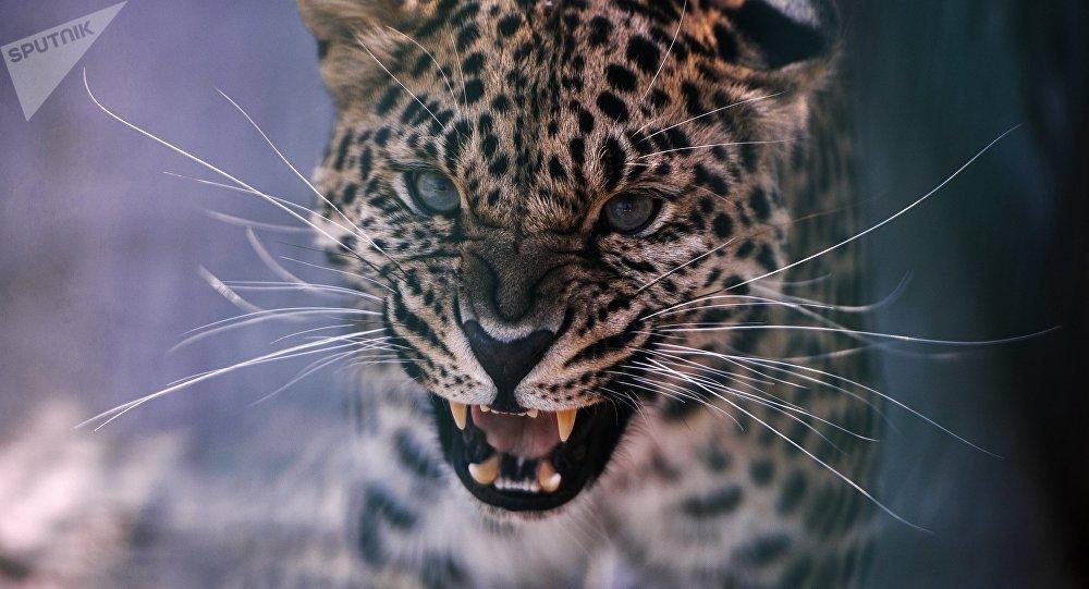 Un leopardo (imagen referencial)