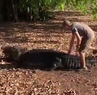 Un biólogo monta un cocodrilo para hacer foto