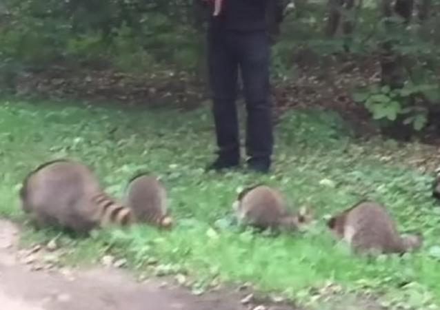 Este 'encantador de mapaches' te alegrará el día