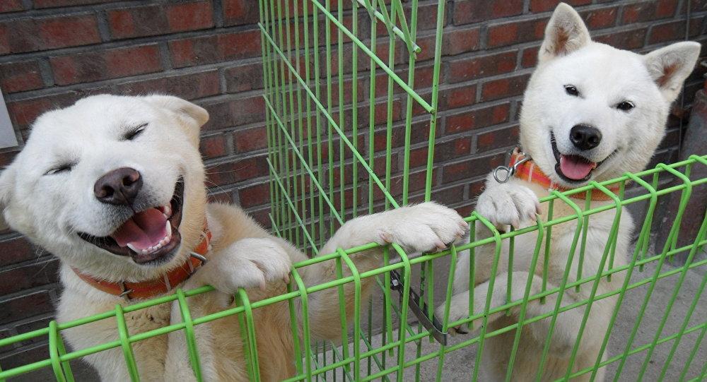 Perros de la raza Pungsan