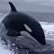 ¡Socorro! ¡Nos están persiguiendo tres orcas!