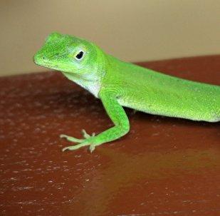 Una lagartija o geco