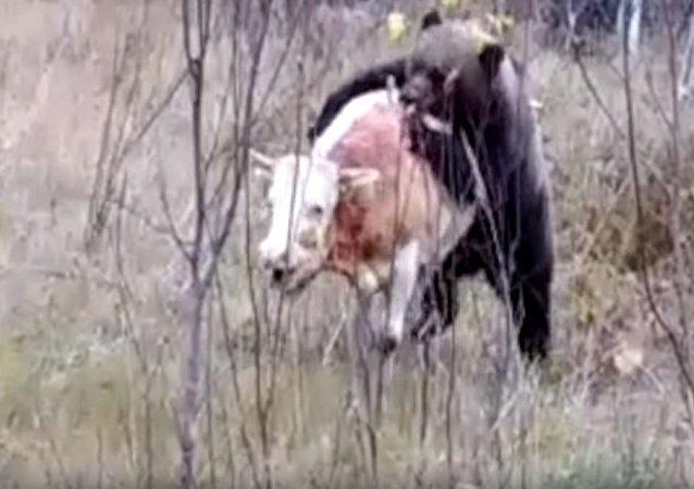Filman una sangrienta batalla entre un oso y un toro