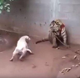 Un perro ataca a un tigre