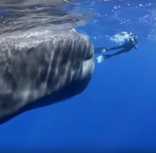 Gigante juguetón: así retozan los cachalotes con los humanos