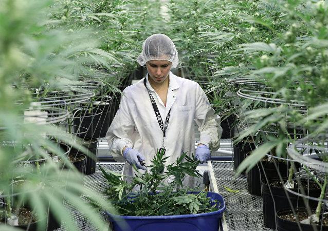 La producción de cannabis en Canadá