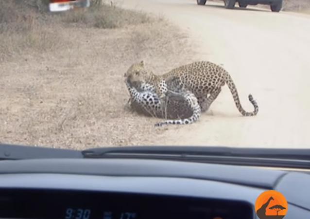 La batalla a muerte de dos leopardos