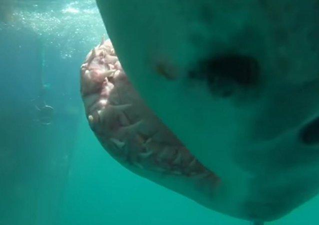 Un tiburón hambriento casi se traga una cámara GoPro