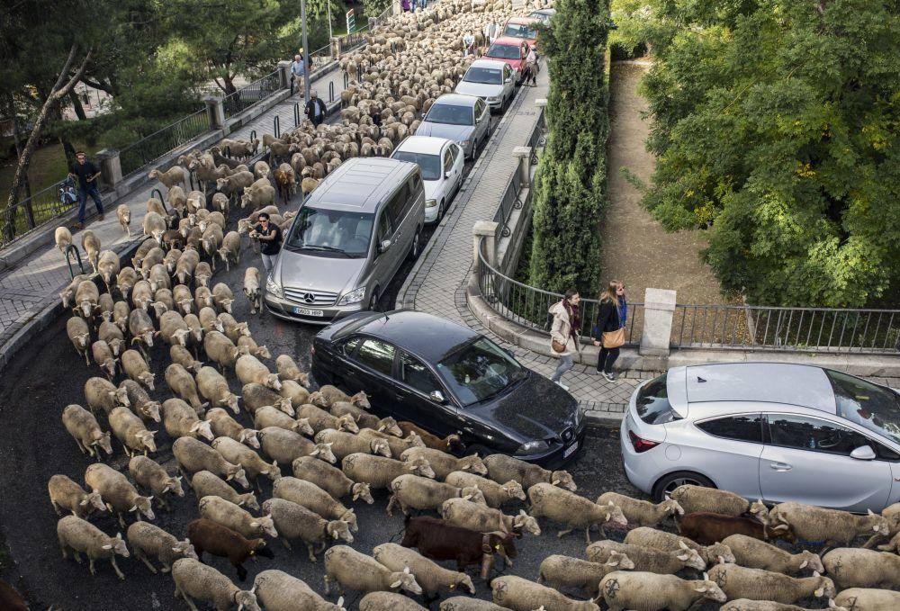 Migración anual de ovejas por Madrid.