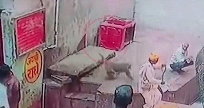 Un macaco le roba la cobra al encantador de serpientes