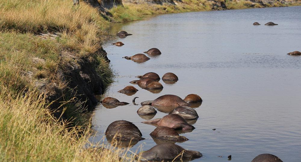 Los búfalos muertos en un río del parque nacional de Botsuana