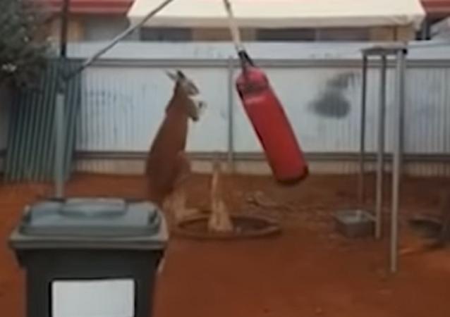 Este canguro podría darle una paliza a Mike Tyson