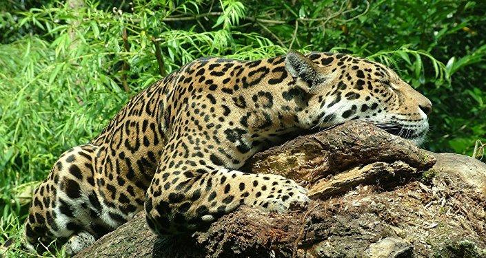 Jaguar (imagen referencial)