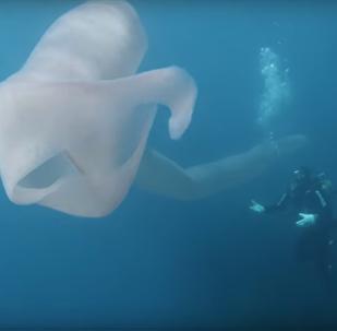 Buzos filman un raro monstruo marino en las aguas de Nueva Zelanda