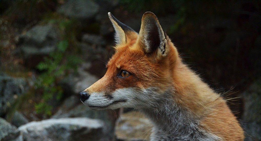 Un zorro, referencial