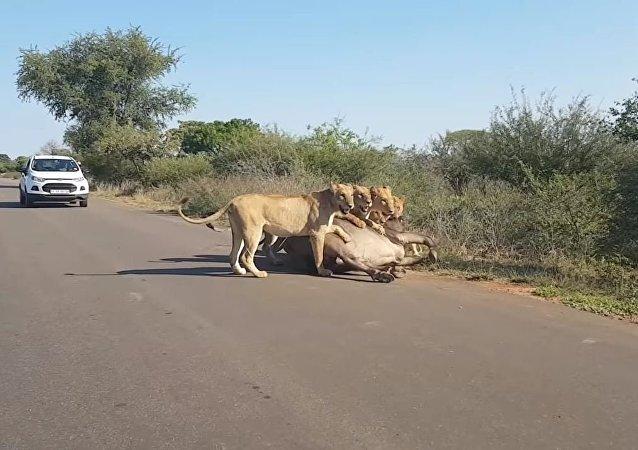 Leones devoran a un búfalo en medio de la carretera