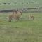 Un perro les muestra a dos leones quién es el verdadero 'rey de la selva'