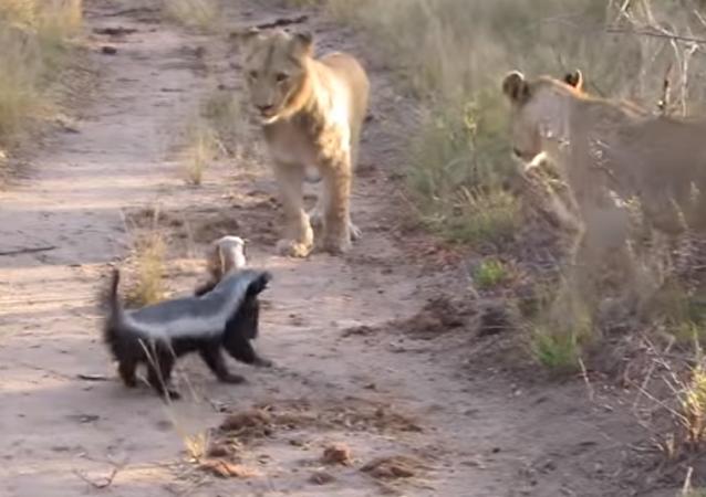 Dos tejones de la miel enseñan a los leones quién manda en la selva