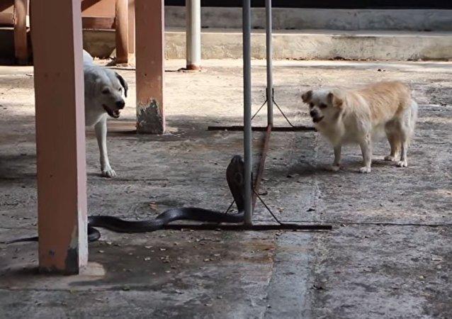Un par de valientes perros atacan a una peligrosa cobra