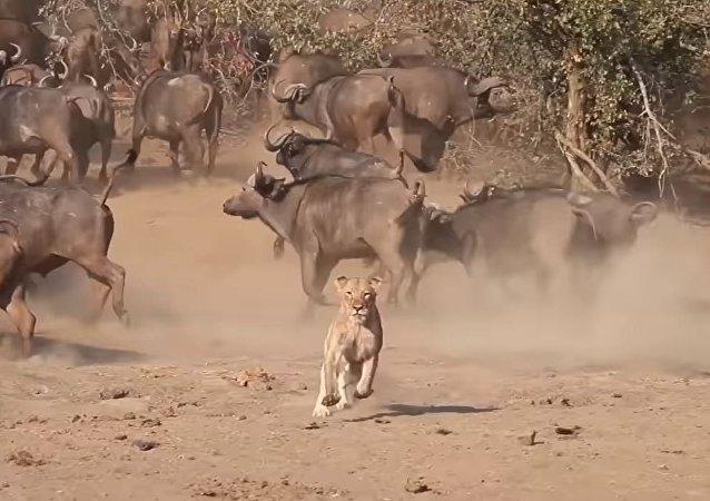 Enemigos eternos: una leona escapa de una manada de búfalos