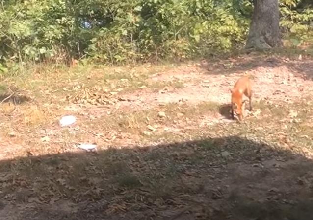 Gato vs zorra: ¿qué animal es más fuerte y astuto para ganar una batalla?