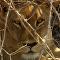 Esta leona mordió el anzuelo de una manada de perros salvajes