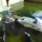 El pavoroso momento en que un hombre cae a un estanque de cocodrilos hambrientos