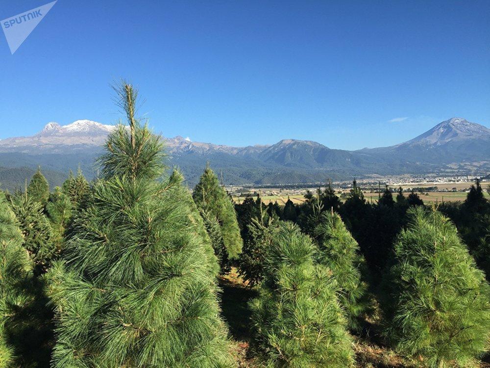 Un bosque de árboles de Navidad cerca del volcán mexicano Popocatépetl
