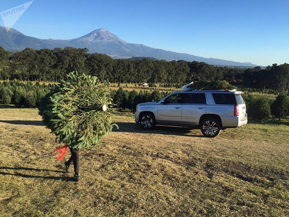 f8294a0ba Un bosque de árboles de Navidad crece bajo el volcán mexicano ...