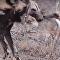 Unos lobos pintados parten en dos a una liebre viva