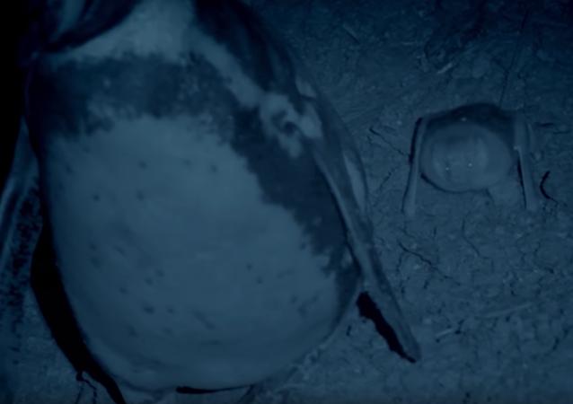 La asquerosa técnica de los pingüinos contra los murciélagos