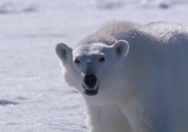 Si este oso polar no caza a una foca, su otro alimento potencial será… el equipo de filmación