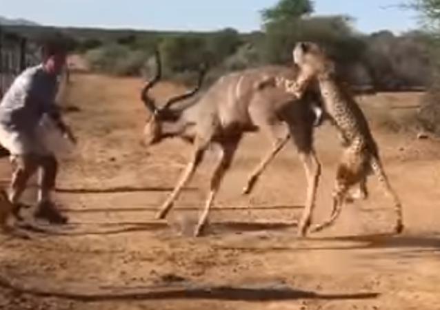 Depredadores sin piedad: dos leopardos degollan a un antílope