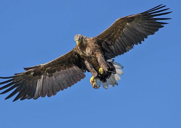 Un águila