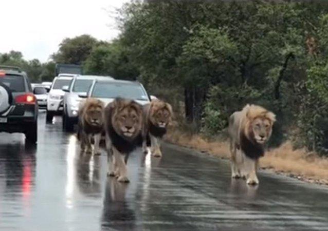 Un paseo de leones causa un atasco: sin prisa alguna