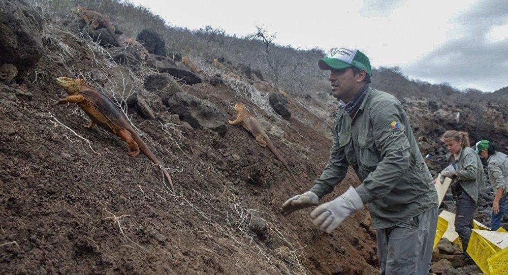 Liberación de las iguanas Conolophus subcristatus en la Isla Santiago, en Islas Galápagos