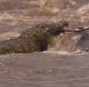 En su propio territorio: un cocodrilo caza ñus en un río
