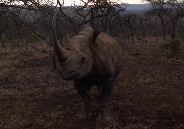 Nota mental: no te metas con un rinoceronte