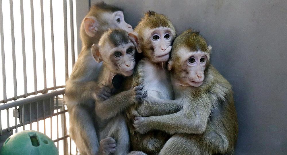 Monos clonados por los científicos chinos
