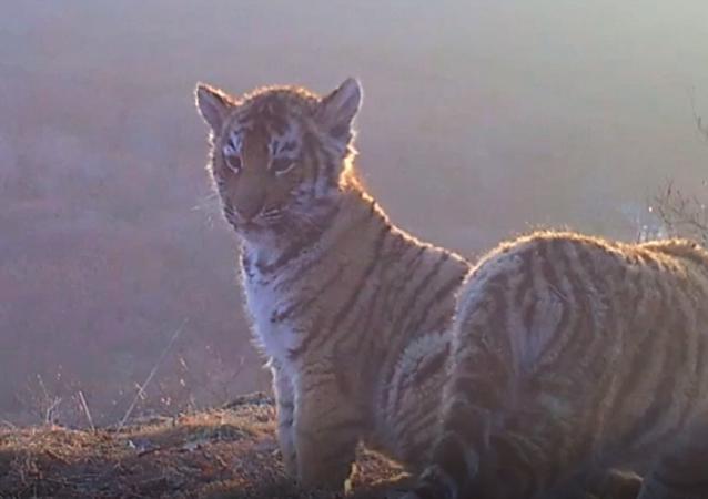 Cámaras ocultas graban los juegos salvajes de cuatro cachorros de tigre siberiano en Rusia
