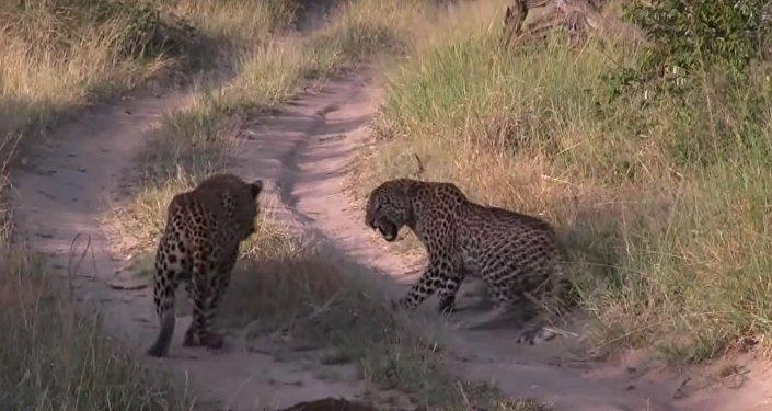 Un leopardo ataca a otro leopardo