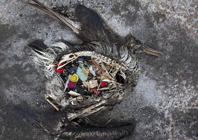Un ave con plástico en el estómago