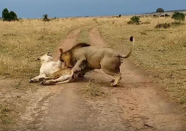 Una broma sobre una leona durmiente acaba muy mal para un león bromista